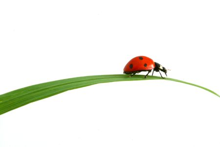 red ladybug on green grass isolated