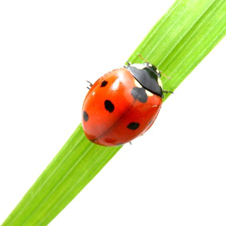red ladybug on green grass isolated photo