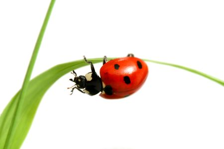 red ladybug on green grass isolated Stock Photo - 3265139