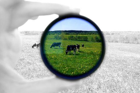 heffer: cow in dark filter on green field