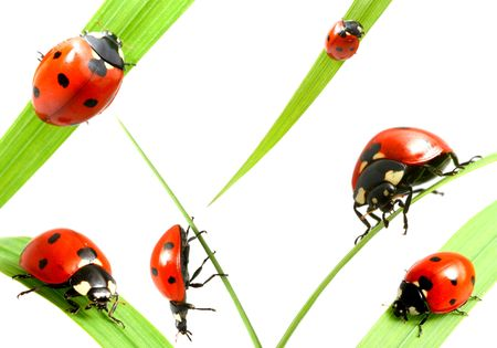 ladybug big family collect isolated on white photo