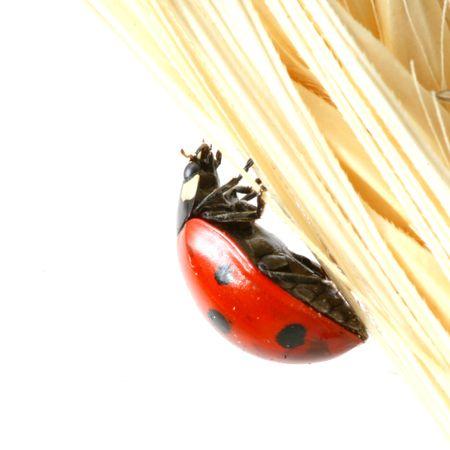 ladybug on wheat isolated white background
