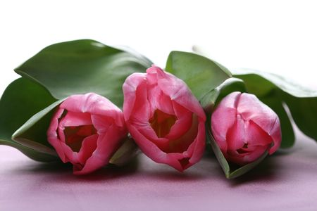 pink tulips close up very beautiful like card Stock Photo - 3402872