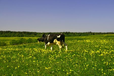 cow on green dandelion field under blue sky Stock Photo - 3410362