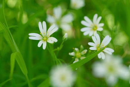 windflower: white spring flowers nature background