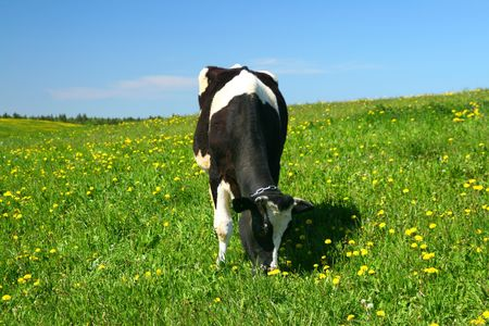 cow on green dandelion field under blue sky Stock Photo - 3442397
