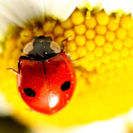ladybug on white camomile summer background