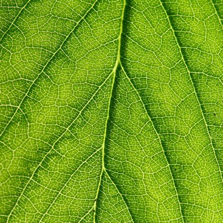 summer green leaf macro close up Stock Photo - 3464024