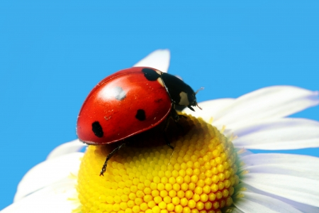 red summer ladybug on camomile under blue sky Stock Photo - 3487988