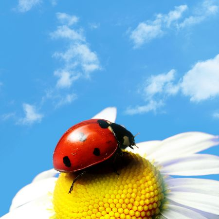 red summer ladybug on camomile under blue sky