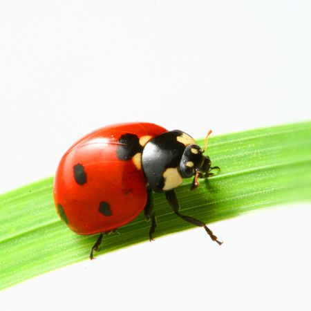 red ladybug on green grass isolated Stock Photo - 3848839