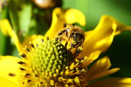 work bee on yellow flower photo