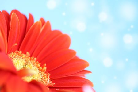 red gerber macro close up photo