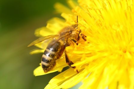 macro bee on yellow dandelion flower photo