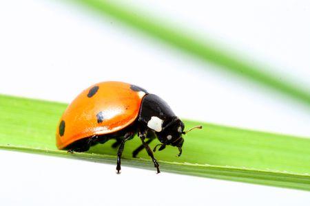 ladybug on grass isolated on white photo