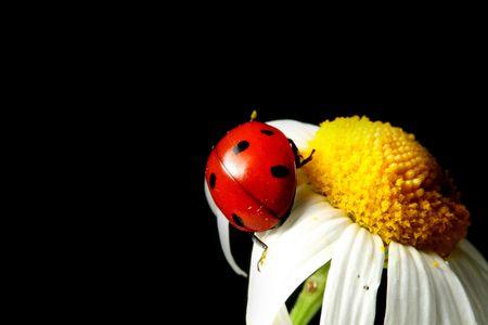 ladybug on camomile photo
