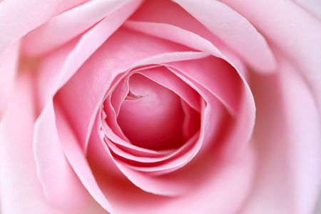 pink rose macro close up photo