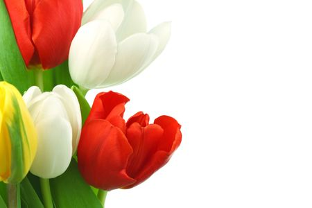 compliment: colorful tulips close up holiday background