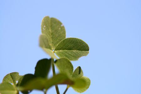 blue sky clover nature background Stock Photo - 4978392