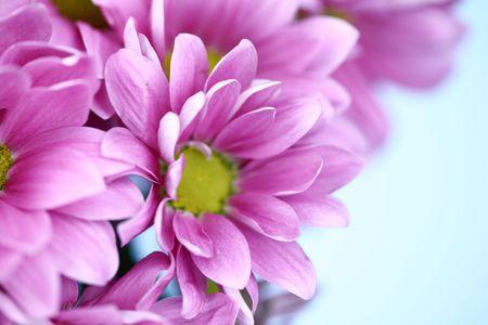 pink chrysanthemum macro close up Stock Photo - 5012624