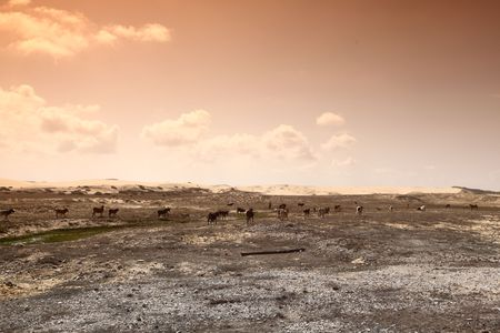 dry cow: goats in desert try find food Stock Photo