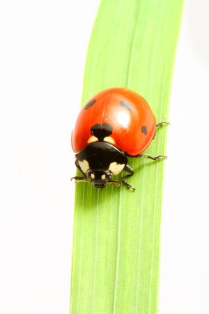 red ladybug on green grass isolated Stock Photo - 5004949