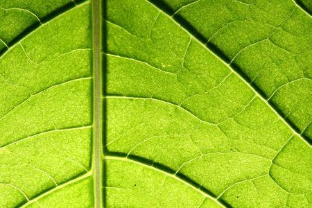 green leaf vein macro close up Stock Photo - 5020373