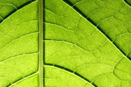 green leaf vein macro close up Stock Photo - 5020373