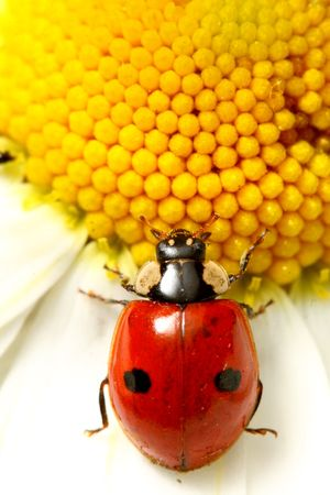 ladybug on white camomile summer background photo