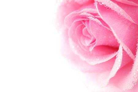 pink rose macro close up Stock Photo - 5020230