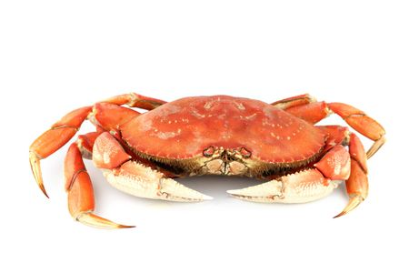 dungeness crab isolated on white Stock Photo - 6315497