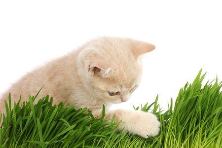 nepeta cataria: gatto dietro erba isolato su sfondo bianco  Archivio Fotografico