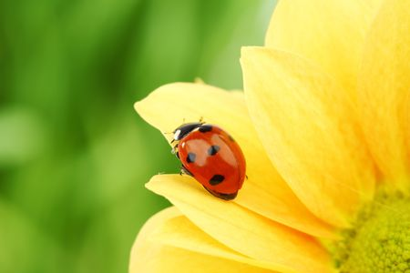 ladybug on yellow flower grass on background photo