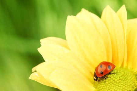 ladybug on yellow flower grass on background photo