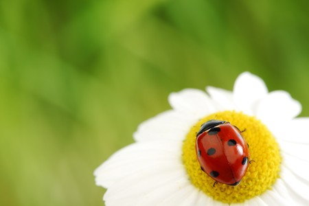 ladybug on camomile green grass background photo