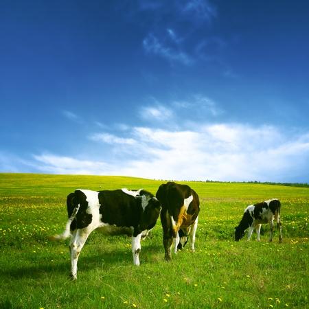 cow on green dandelion field under blue sky Stock Photo