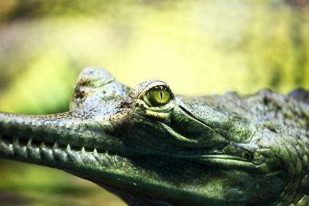 species of creeper: gavial crocodile close up macro Stock Photo