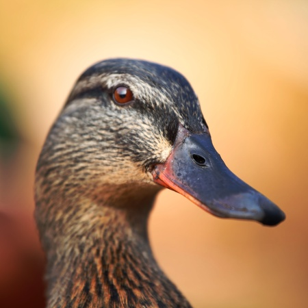 duck in zoo macro close up Stock Photo - 8453383