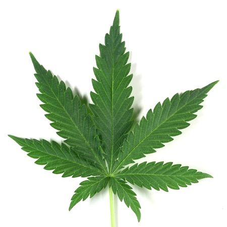 marihuana leaf: cannabis aislados en blanco de amsterdam