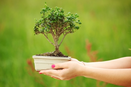 bonsai in hands on green grass background photo