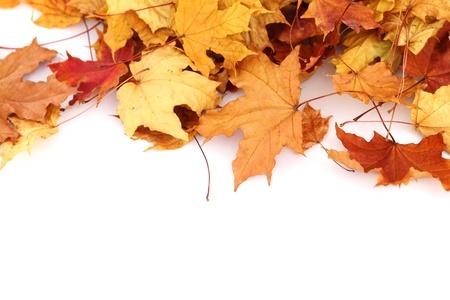 autumn leaves isolated in studio Stock Photo - 8585756