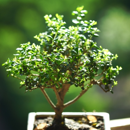 bonsai on green grass background Stock Photo