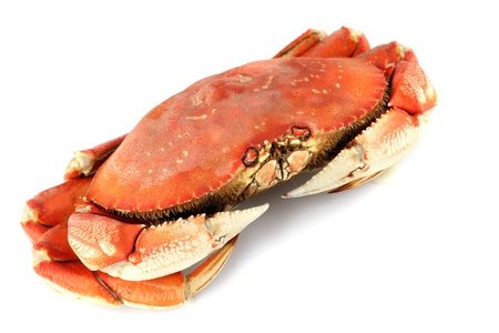dungeness crab isolated on white photo