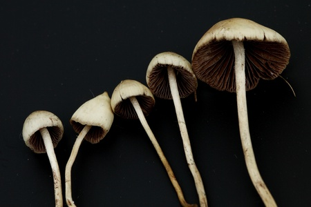 psilocybe semilanceata macro close up photo