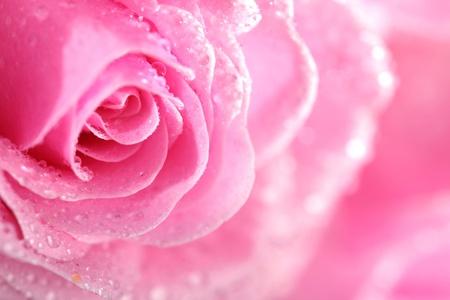 roses garden: pink rose macro close up