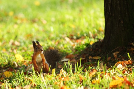 squirrel jumps in the autumn forest photo