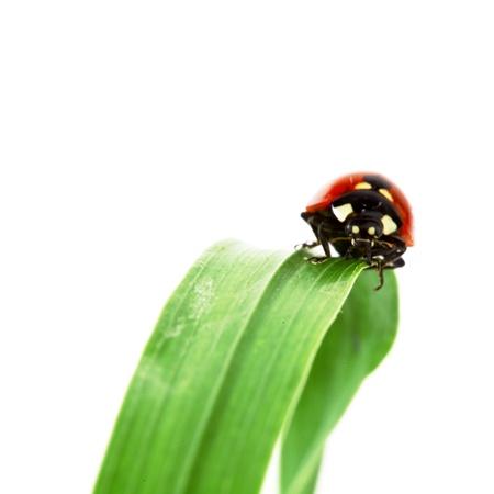 ladybug on grass isolated on white background photo