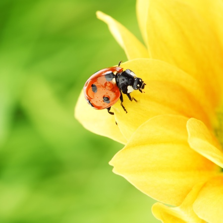 ladybug on yellow flower  macro close up photo