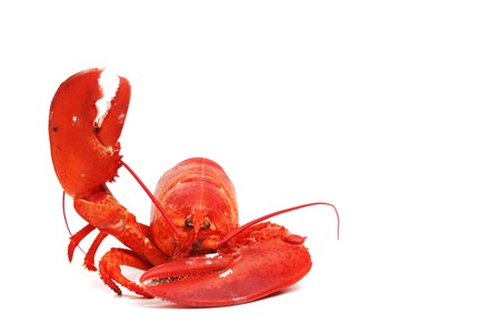 hello lobster isolated on white background photo