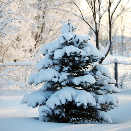pine forest in snow Stock Photo - 8678506